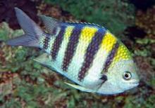 Абудефдуф обыкновенный, рыба-сержант (Abudefduf vaigiensis, Abudefduf saxatilis)